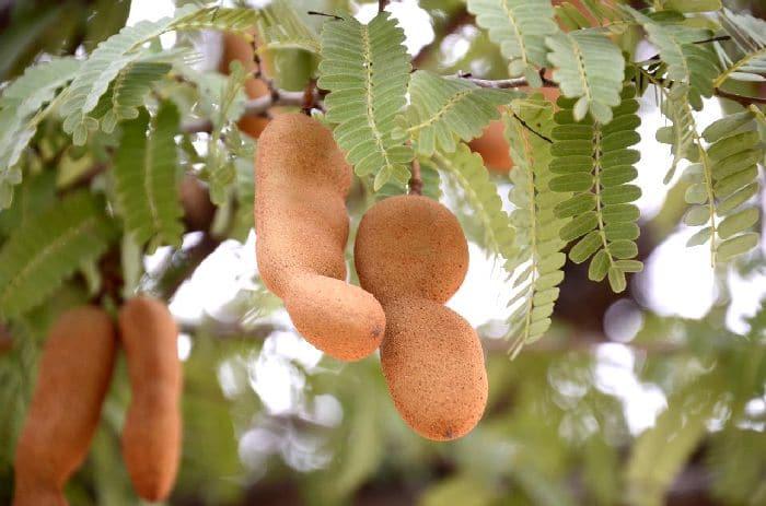 плоды тамаринда на дереве