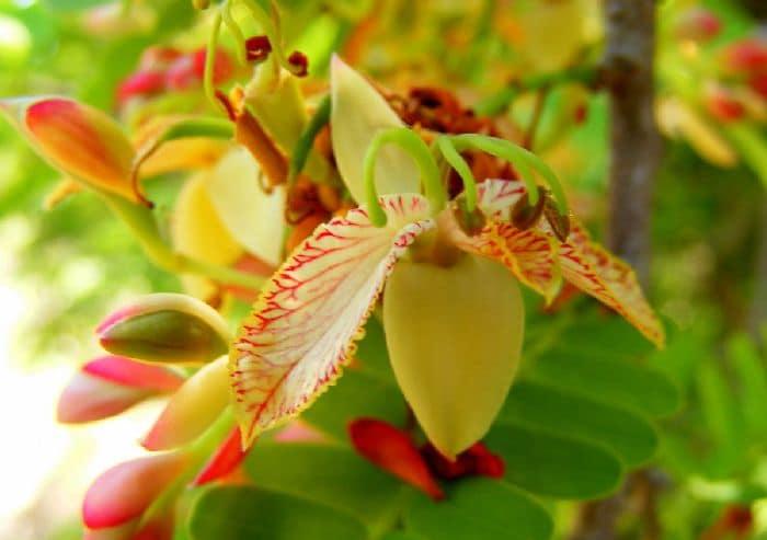 цветущий тамаринд